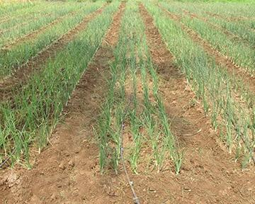 BEST SOIL CONDITION AND PREPARING IT FOR ONION FARMING
